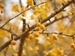 Female Ginkgo Tree Removal Policy - branches with golden clusters of kinkgo fruit