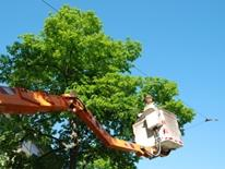 Request a Street Tree Service or Planting - cherry picker crew topping a tree