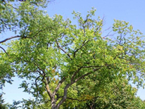 Dutch Elm Disease damage
